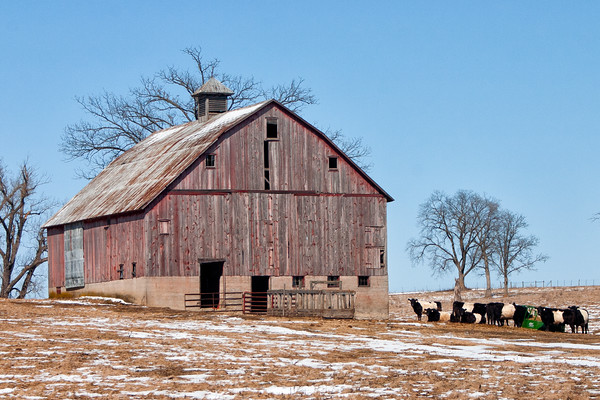Barn and Dutch Belteds