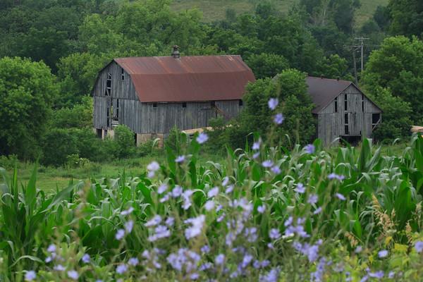 Barns and Chicory