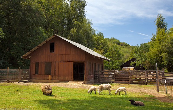 Sheep at Deep Hollow Farm at Rancho San Antonio