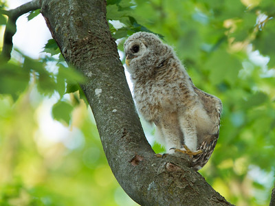 Barred Owlet Stretch