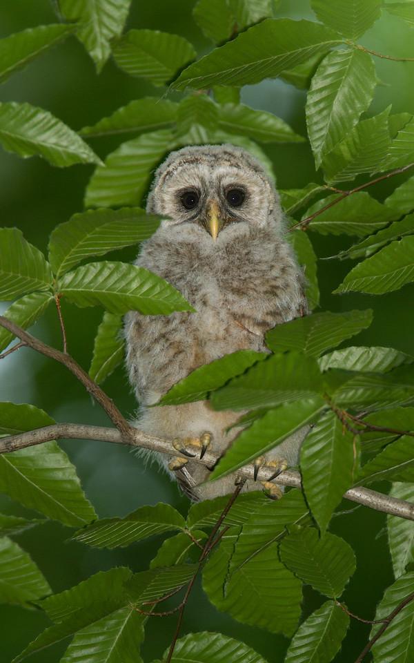 Barred Owlet in Beech Canopy