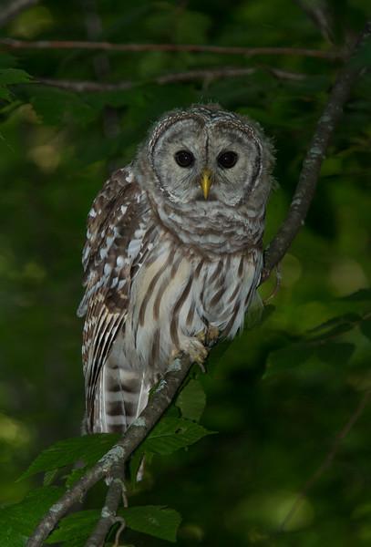 "Juvenile Barred Owl ""Malcolm"""