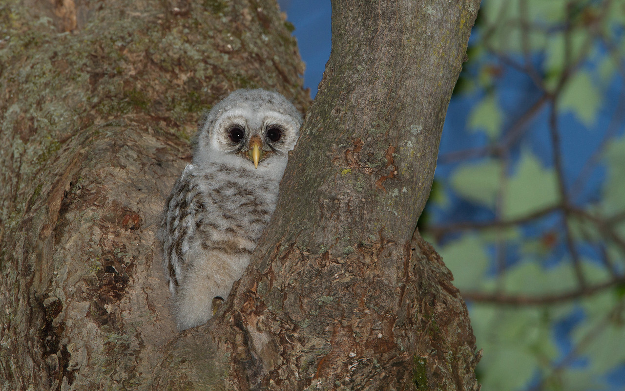 Barred Owlet Emerging from Cavity