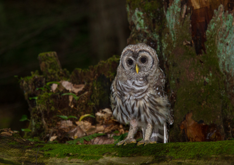 Barred Owlet on Moss Covered Log