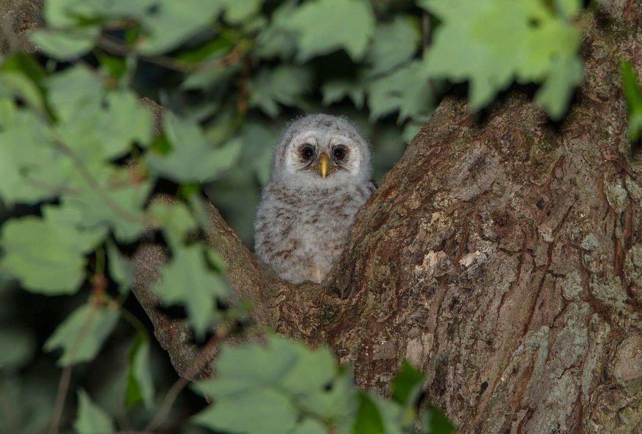 Barred Owlet on Cavity Edge