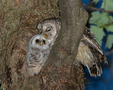 Barred Owlet Preened by Dad