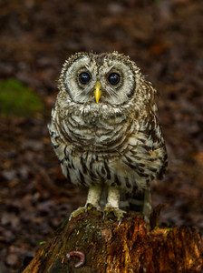 Young Barred Owl on Stump with Millipede