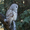 16  My first 100% wild Barred Owl