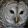 05  Barred Owl wildlife ambassador