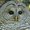03 Barred Owl at the Calgary Zoo
