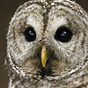 01 Barred Owl male - a bird ambassador