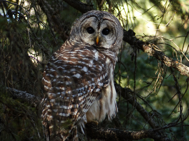 17  My first truly wild Barred Owl
