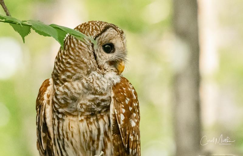 Barred Owl Profile