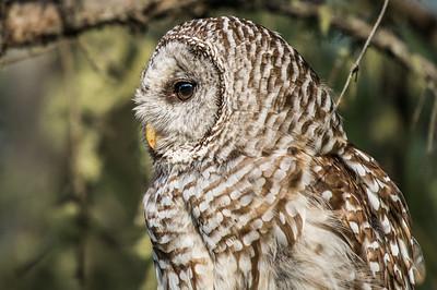 OWL_1132