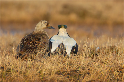 Spectacled Eider pair