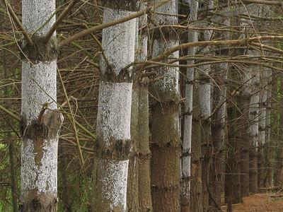 Pine bark adelgid