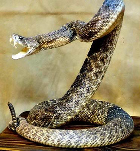 Rattle-Snake-Coiled