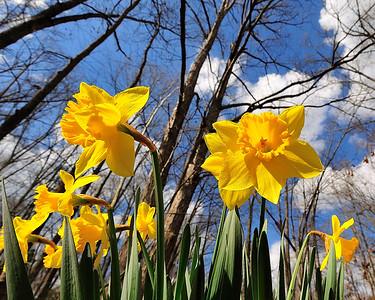 daffodills and sky_rwc1962