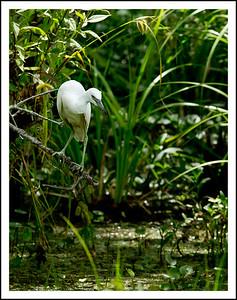 _DSC3201 lake martin egret_