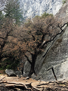 Leaning Tree in Yosemite