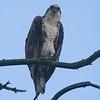 , Osprey, Fish Hawk, Rybołów