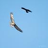 Redtailed Hawk Common Raven