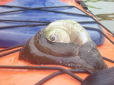 Moon Snail on sea kayak deck