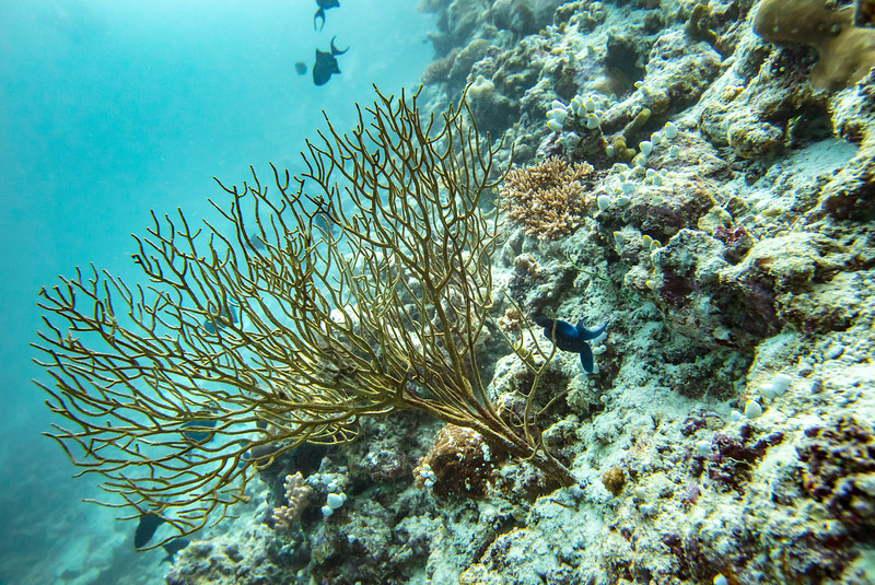 Web Maldives Coral-2
