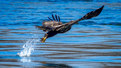 Eagles (Fishing & Fighting)-34