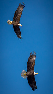 Eagles (Fishing & Fighting)-23