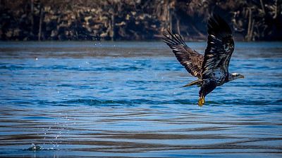 Eagles (Fishing & Fighting)-36