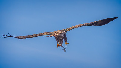 Eagles (Fishing & Fighting)-14