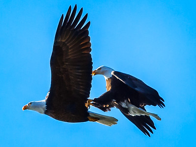 Eagles (Fishing & Fighting)-31