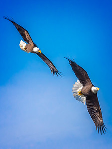 Eagles (Fishing & Fighting)-21
