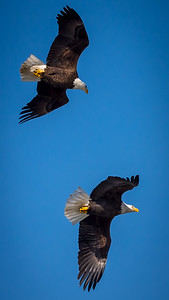 Eagles (Fishing & Fighting)-25