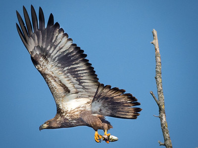 Eagles (Fishing & Fighting)-17