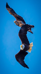 Eagles (Fishing & Fighting)-28