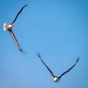 Eagles (Fishing & Fighting)-19