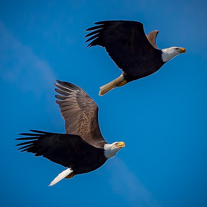 Eagles (Fishing & Fighting)-22