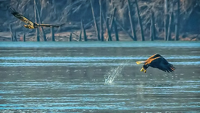 Bagnell Dam Eagles (2)