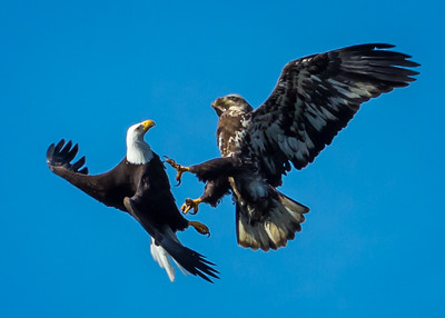 Eagles (Fishing & Fighting)-27