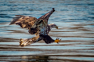 Eagles (Fishing & Fighting)-12