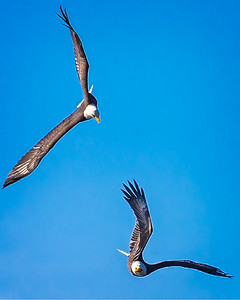 Eagles (Fishing & Fighting)-20