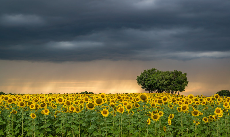 Sunflowers in Provence.
