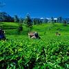 Tea-Plantation-2
