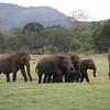 Wild-Elephants
