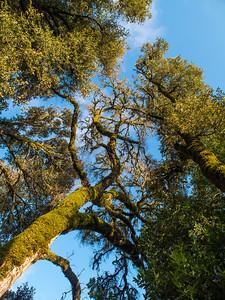 Mossy oaks in the sun (pre-hike)