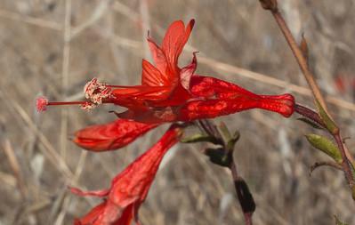 California Fuchsia (hike)