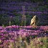 Burrowing Owl in shoreline park 1994