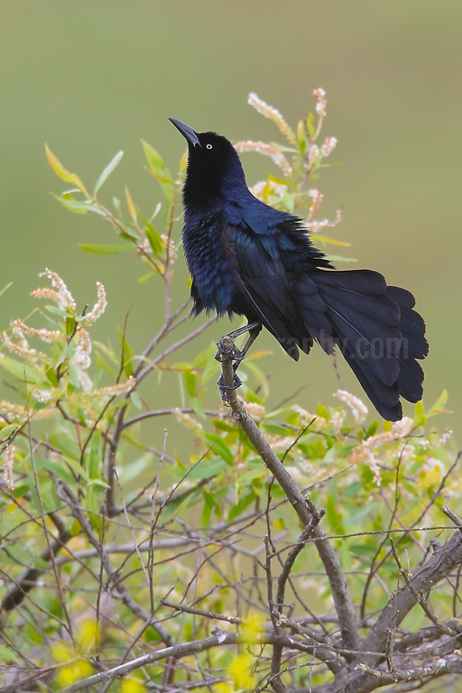 Great-tailed Grackle (M) Displaying